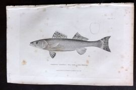 Cuvier 1834 Antique Fish Print. Green Pickering